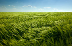 Green wheat field and cloudy sky Stock Photo