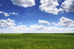 Green wheat field and cloudy sky, agriculture scene. Royalty Free Stock Photos