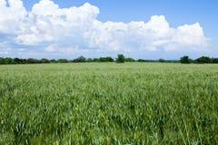 Green Wheat Field Royalty Free Stock Photos