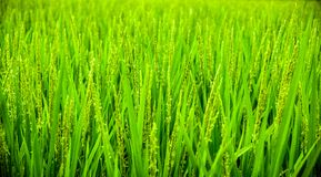 Green Wheat Field during Daytime Stock Photo