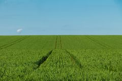 Green wheat field daytime agriculture land with tracktor traces royalty free stock photos