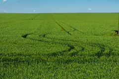 Green wheat field daytime agriculture land with tracktor traces Stock Image