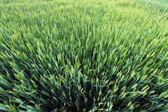 Green wheat field detail Royalty Free Stock Photo