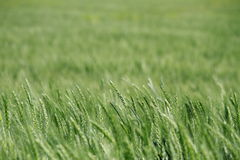Green Wheat Field Detail Royalty Free Stock Photography