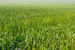Green Wheat field in the early spring Royalty Free Stock Photos