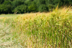 Green wheat field edge. Forest behind Stock Photos