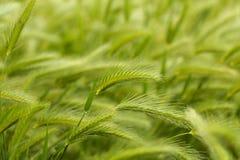 Green wheat. Royalty Free Stock Photo