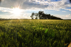 Green wheat field and forest in the sunset sun light. The beautiful peaceful landscape Stock Images
