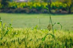Green wheat field. Fresh green wheat field India royalty free stock photo
