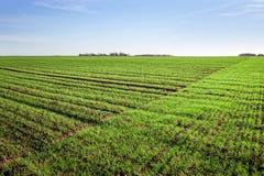 Green wheat field. Stock Photography