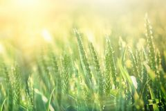 Green wheat field - good harvest is expected royalty free stock photo