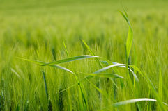 Green wheat field with grass Royalty Free Stock Photos