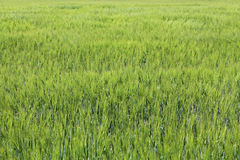 Green wheat field. Green agriculture background with cereals Royalty Free Stock Images