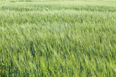 Green wheat field. Green agriculture background with cereals Stock Image