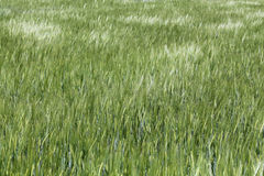 Green wheat field. Green agriculture background with cereals Stock Images