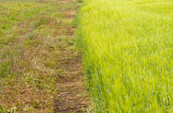 Green wheat field Stock Photography