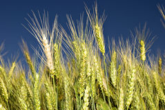 Green wheat field before harvest Royalty Free Stock Image