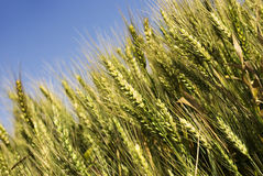 Green wheat field before harvest Royalty Free Stock Photography