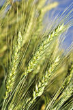 Green wheat field before harvest Royalty Free Stock Photos