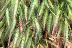 Green wheat field that has begun to ear Royalty Free Stock Photo