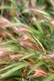 Green wheat field that has begun to ear, background Stock Photo