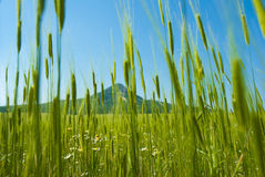 Green wheat field with hill Royalty Free Stock Images