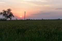 Green Wheat field in an Indian farm with sunset in the backdrop Royalty Free Stock Photography