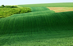 Green wheat field landscape Royalty Free Stock Images