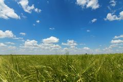 Green Wheat field landscape. Green wheat field. Agriculture Royalty Free Stock Photo