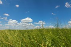 Green Wheat field landscape. Green wheat field. Agriculture Stock Images