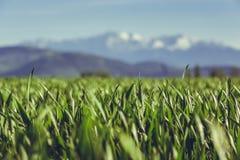 Green wheat field Stock Photos