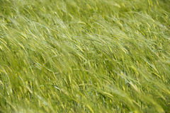 Green Wheat field moved by wind Royalty Free Stock Photos