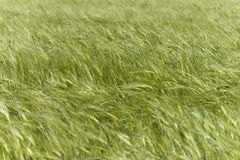 Green Wheat field moved by wind Royalty Free Stock Photo