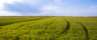 Green wheat field with path Royalty Free Stock Photo
