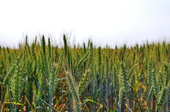 Green wheat field. Photography of green wheat field Royalty Free Stock Photography