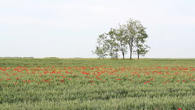 Green wheat field. And poppy flowers stock footage
