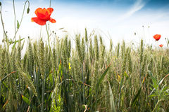 Green wheat field. With poppy flowers Stock Photography