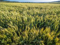 Green wheat field in the rays of sunset light. royalty free stock photo