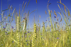Green wheat in the field. Rye field with bliue flowers in a sunny day. Blue sky background Royalty Free Stock Photos