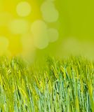 Green wheat field with space to insert text. Sunny spring day stock photo