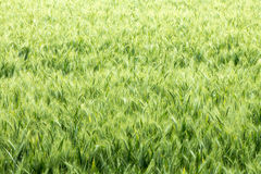 Green wheat field. Field with green wheat spikelets Royalty Free Stock Image