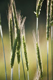 Green Wheat In Field Royalty Free Stock Photo
