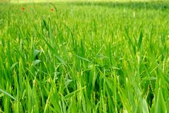 Green wheat field at spring Stock Photography