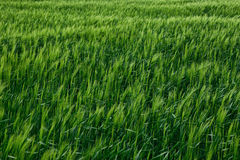 Green wheat field  spring landscape Royalty Free Stock Image