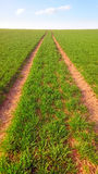 Green wheat field. Royalty Free Stock Photos