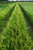 Green wheat field in spring Royalty Free Stock Photography