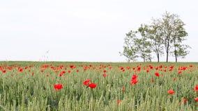 Green wheat field stock video