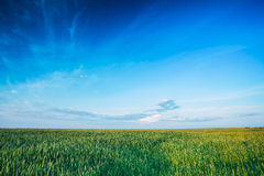 Green Wheat Field In Spring Season. Agricultural Rural Landscape Royalty Free Stock Photography