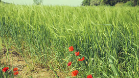 Green wheat field springtime Royalty Free Stock Image