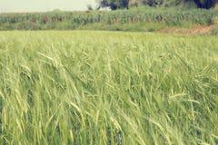 Green wheat field springtime Stock Photography